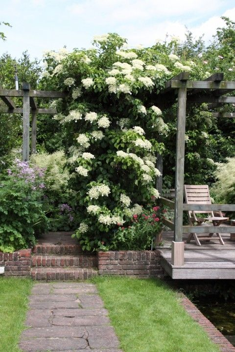 Hydrangea anomala ssp. petiolaris - Klimhortensia - De Tuinen van Appeltern