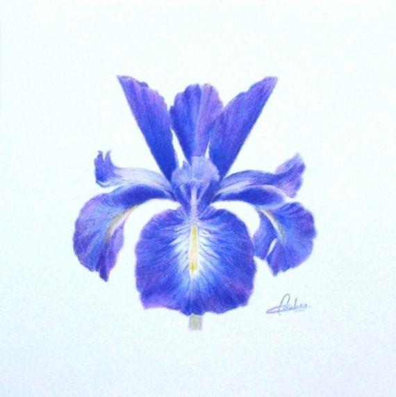 Fleurs d 39 hiris comment dessiner des iris fleurs - Fleurs a dessiner modele ...