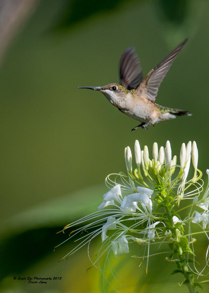 1008 Juvenile male Ruby-throated Hummingbird over White Spider Cleome - In my…