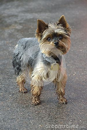 Yorkshire terrier looking at the camera in a head shot,