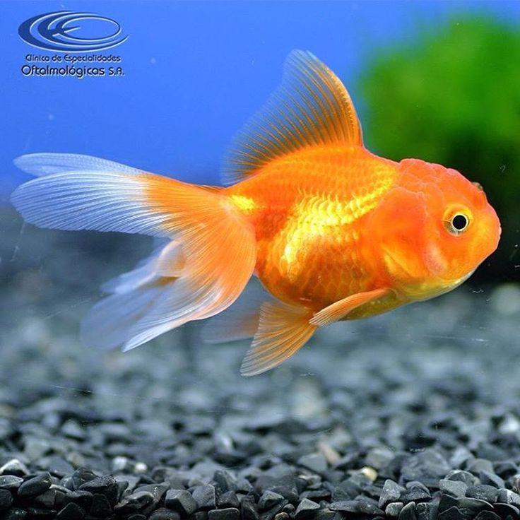 ¿ #SabíasQue los peces dorados (carassius auratus) no tienen párpados? #CuriosidadesCEO  www.ceomedellin.com Foto vía http://goo.gl/aW7o52