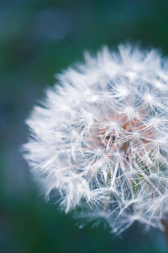 teal, dandelion, flower, macro photography, nursery decor, fuzzy, soft, teal wall art, home decor, dandelion seeds, spring photography