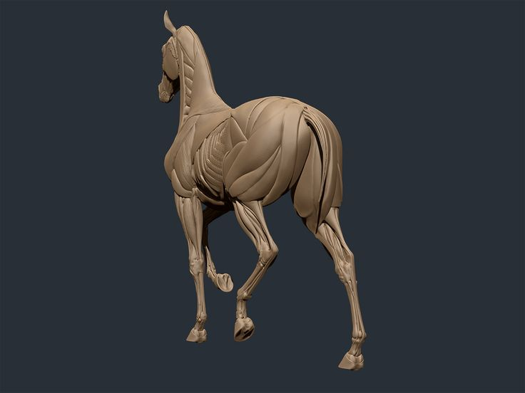 1000+ Images About * Horse No.5 ( Anatomy ) On Pinterest