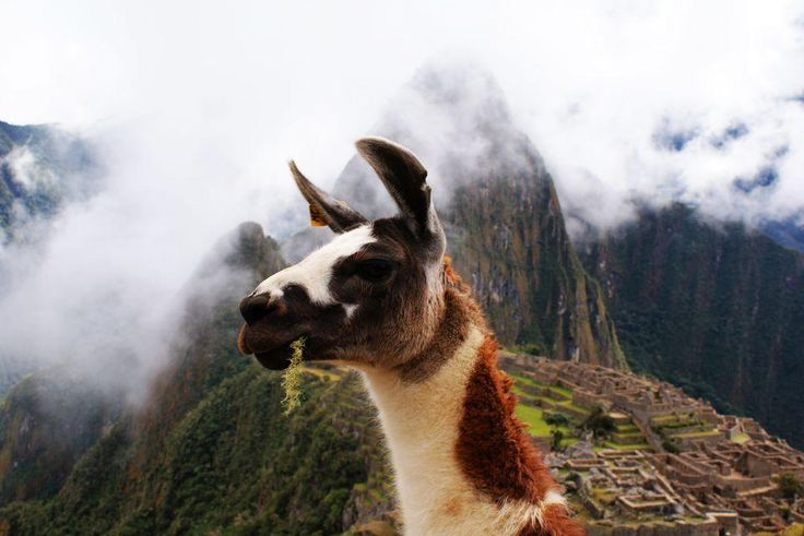 Llamas, Llama Pictures, Llama Facts - National Geographic
