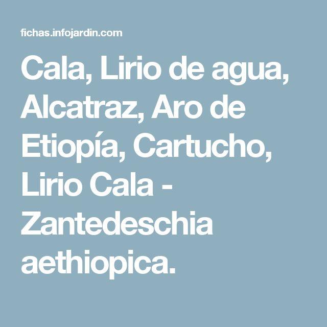 Cala, Lirio de agua, Alcatraz, Aro de Etiopía, Cartucho, Lirio Cala - Zantedeschia aethiopica.