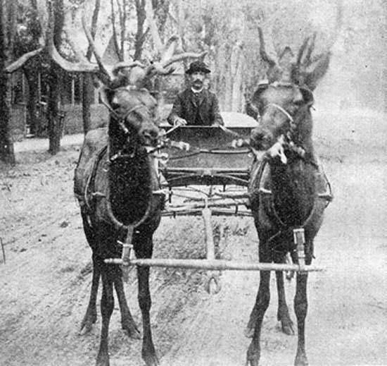 """Back in 1889 a rowdy resident named Prairie Dog O'Byrne was arrested several times for racing his wagon, pulled by his 2 trained bull elk, up and down Colorado Avenue. There is now a popular restaurant on the west side of Colorado Springs named for the two elk """"Thunder and Buttons""""."""