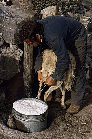 Shepherd milking sheep for cheese, island of Crete, Greece, Europe