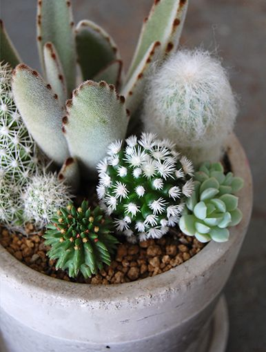 Nice arrangement of cacti and Kalanchoe tomentosa