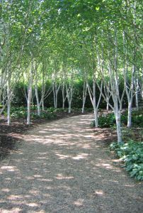 Avenue of silver birch trees