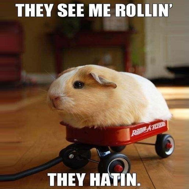 Pin on Guinea pigs memes