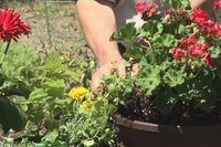 Herbs That Grow in the Shade That Repel Mosquitoes | eHow