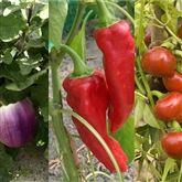 reussir-la-culture-de-l-aubergine-du-poivron-et-du-piment