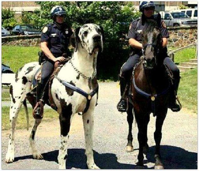 Policial montado em um cachorro gigante!