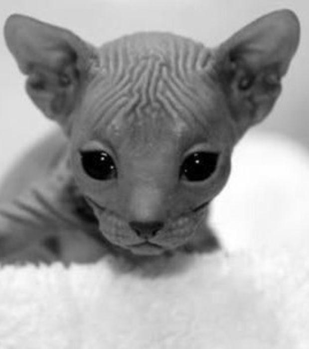 Die Donskoy Hat Einen Keilformigen Kopf Mandelformige Augen Hervortretende Backenknochen Und Grosse Ohren Sie Is Haarlose Katzen Katzen Rassen Hubsche Katzen