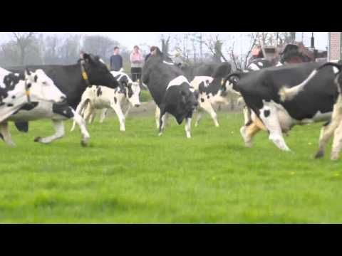 Dance of the cows: Cows going outside for the first time after the long winter period ... so sweet!