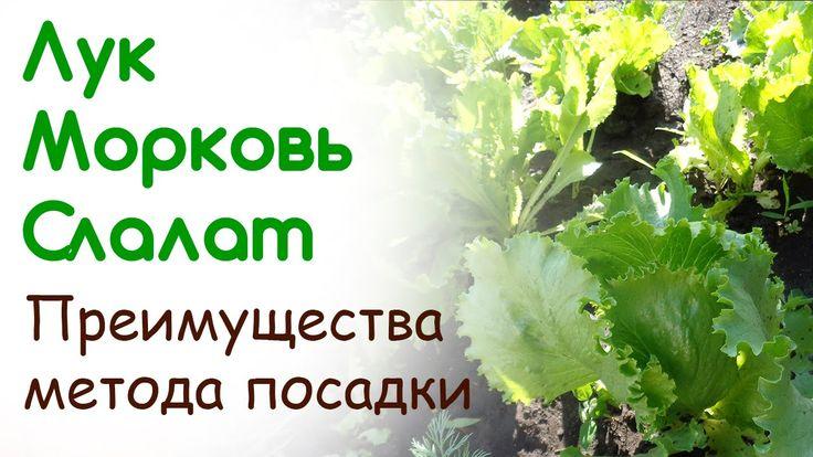 Лук, морковь, салат - начало июня. Преимущества метода посадки
