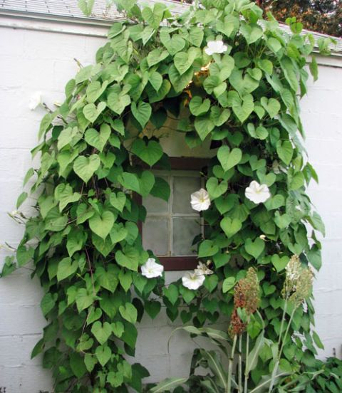 13 best climbing vines images on pinterest climber plants moonflower ipomoea alba climbing vine night bloomer 10 seed packet or bulk by shakerseeds on etsy publicscrutiny Choice Image