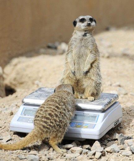 "Londra, la ""pesa"" degli animali allo zoo"