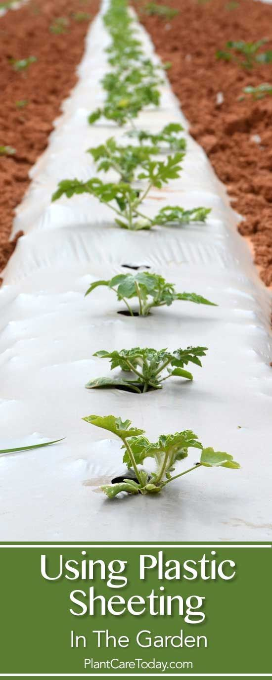 Using plastic sheeting, black plastic mulch, clear poly sheeting in the garden proves to be a useful tool for some crops. The PROS and CONS