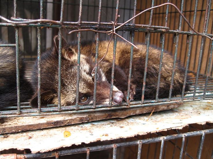 Civet coffee is made by keeping civets caged in filthy conditions, and force feeding them coffee cherries to make an expensive cup of joe. Sign this petition and pledge to not buy civet coffee from unethical retailers and farmers.