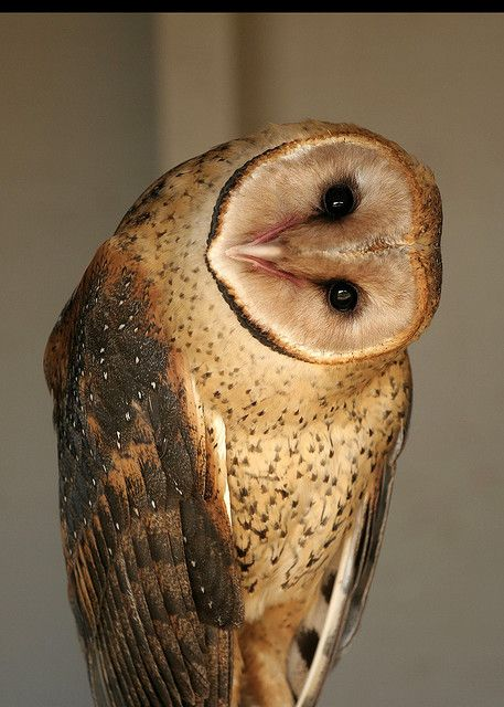 Barn Owl- a pair of these live and hunt in my neighborhood, I've seen them both together several times.