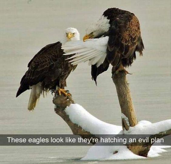 The Eagle Has Landed Quote: 17 Best Ideas About Bald Eagle Meme On Pinterest