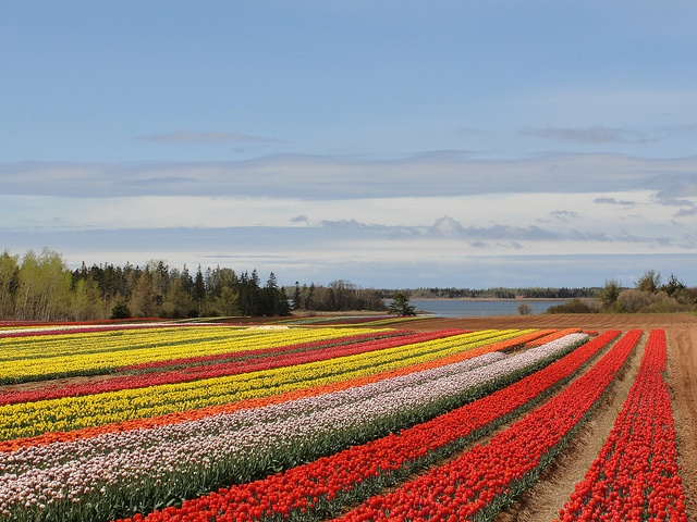 Tulip farm - Prince Edward Island
