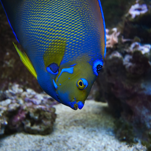 Queen Angelfish by Dabduedel, via Flickr | Photography ...