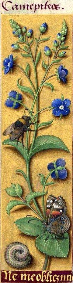 Ne me obliez mie - Camepiteos (Veronica Chamædrys L. = véronique des bois) -- Grandes Heures d'Anne de Bretagne, BNF, Ms Latin 9474, 1503-1508, f°27v