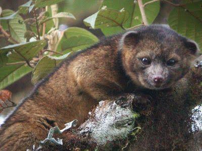 Descoberto novo mamífero da família dos guaxinins na América do Sul Bicho parece 'cruzamento de gato com urso de pelúcia', diz instituição.Há 35 anos, animal carnívoro não era descoberto no Hemisfério Ocidental.