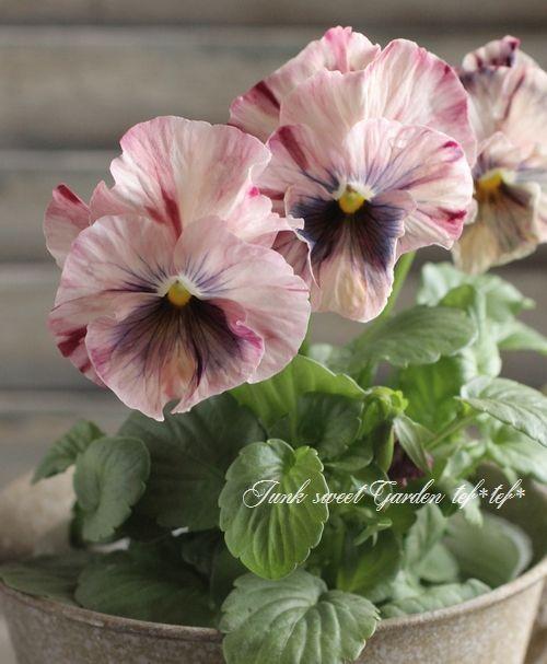 <i>Viola×wittrockiana </i><BR><BR>フリルパンジー<BR>『キャンティミックス』   花     Junk sweet Garden tef*tef*