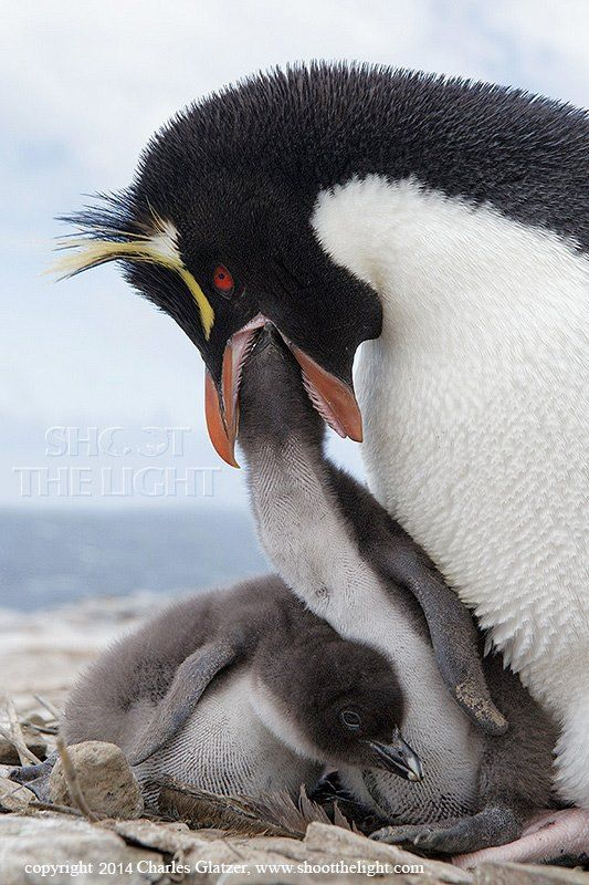 228 best images about Penquin's and Happy Feet on ...
