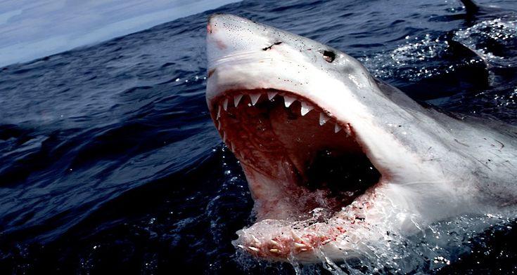 Shark Week 2016: Monster Mako Returns, Will Megalodon Shark Follow? - http://www.australianetworknews.com/shark-week-2016-monster-mako-returns-will-megalodon-shark-follow/