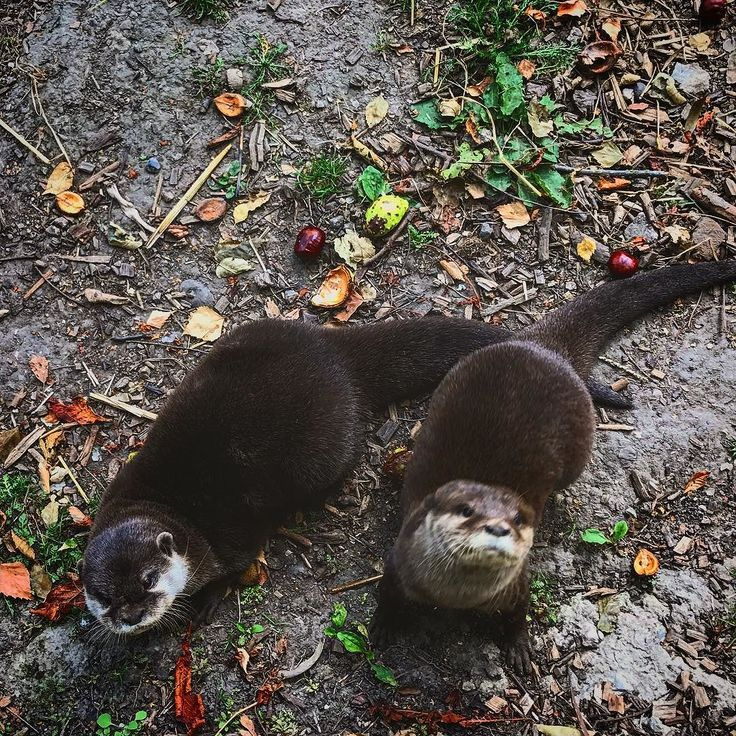 Got to hangout with these guys this morning  #otter #otters #ottersofinstagram #otterlove #otterlyamazing #otterlyamazing #kent