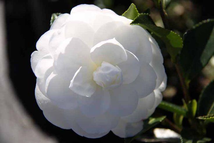 Camellia_Silver_Dollar