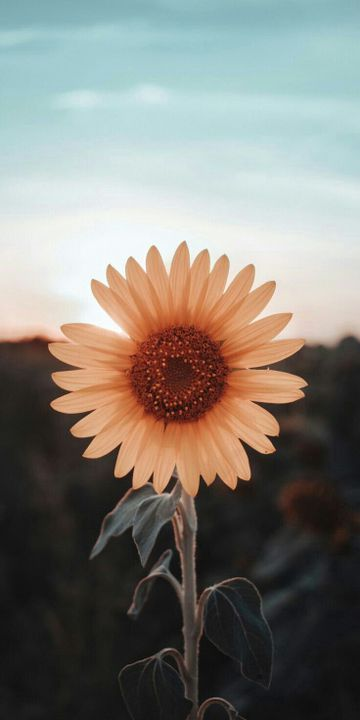 The aesthetic iphone wallpapers are trendy these days. FONDOS BELLOS PARA EL CELU   Sunflower iphone wallpaper