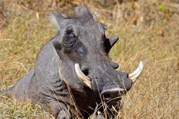 This obliging warthog was so cold and he had found such a warm sunny spot he just did not move! At Khwai Adventurer Camp on the Wilderness Migration Route #Botswana http://www.wilderness-safaris.com/explorations