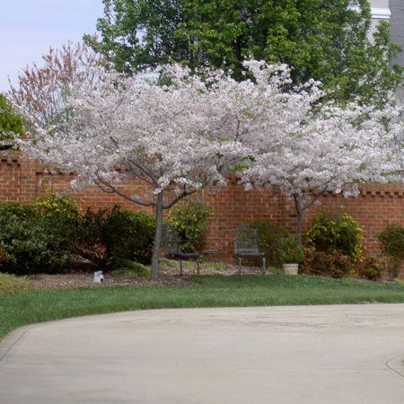 The 25 best yoshino cherry tree ideas on pinterest for Cherry trees for sale