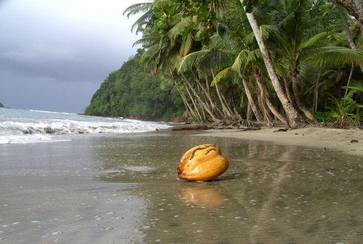 Coconut ~ Dominica