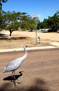 Brolgas in Brolga St, Longreach. Photo by Jilly Singleton, shared by ABC Western Queensland & ABC Open on Facebook.
