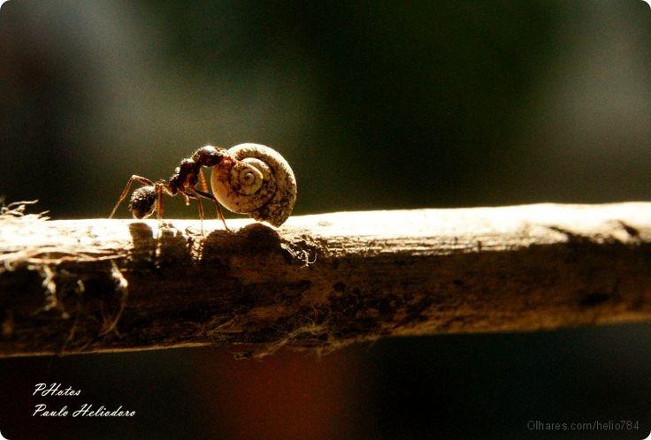 A formiga Hercules! | Fotografia de Paulo Heliodoro | Olhares.com: Paulo, Photo