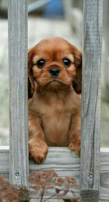 Cute Puppy Looking Through Gap In The Fence