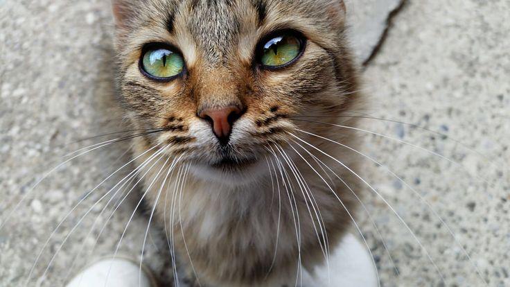 Little devil in a body of a cat  #cat #cute #eyes #pet #posing #animal #croatia #closeup