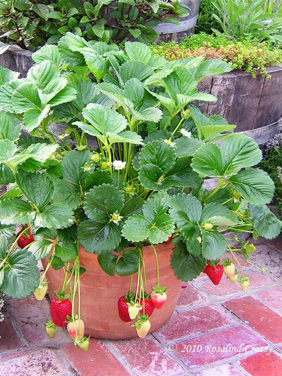 Lots of info on growing strawberries - Alpine strawberries produce all summer, no runners, produce fruit on top, take light shade. Day Neutral 'Tristar' strawberries - produce from May to fall, good for containers, no runners