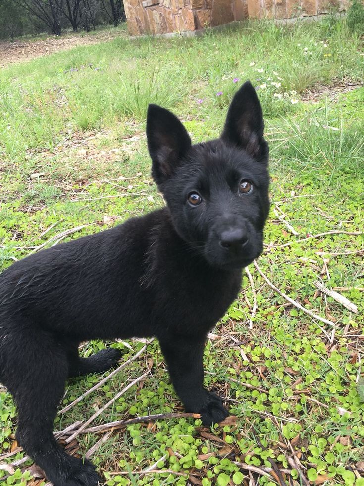Solid Black German Shepherd Puppy