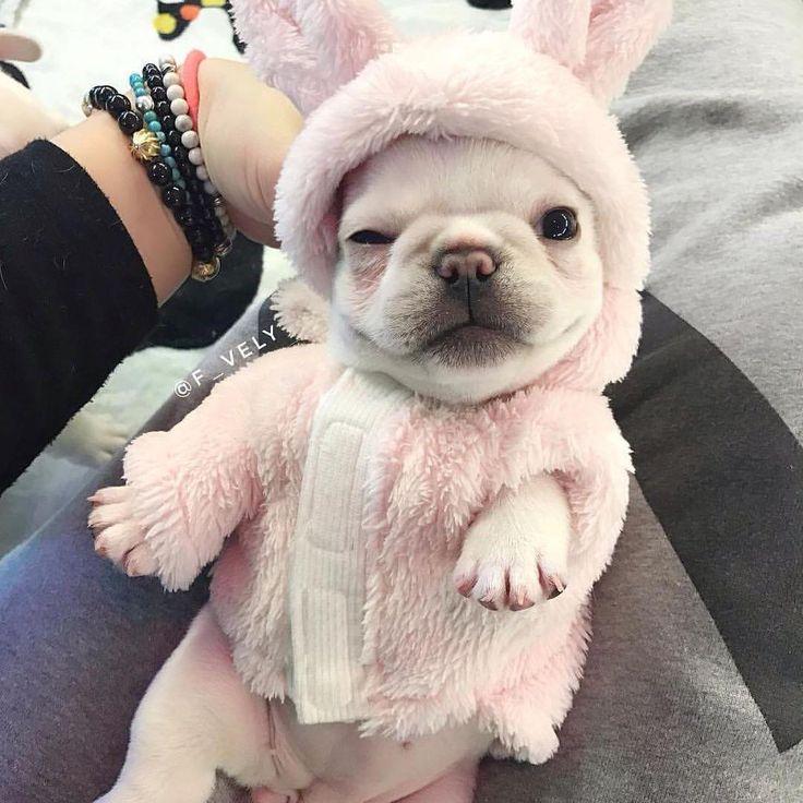 Frenchie Bunny French Bulldog Puppy