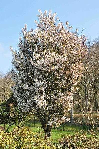 Prunus nipponica 'Brillant', Sierkers
