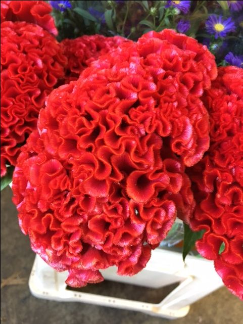 Celosia 'Smashing' what a super red!! Sold in bunches of 10 stems from the Flowermonger the wholesale floral home delivery service.