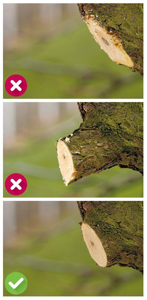 """Die richtige Schnitt-Technik: Bitte nur scharfes Werkzeug verwenden, damit eine gerade, saubere Wunde entsteht. Der Schnitt sollte nicht zu dicht am Stamm angesetzt werden, weil dadurch der Astring zerstört wird. Für den Heilungsprozess sollte ein kleiner Astring stehen gelassen werden. Bitte jedoch nicht zu weit vom Stamm schneiden! Zu große Stummel (""""Huthaken"""") können nicht zuwachsen. Mit der Zeit dringen Pilze oder Fäulnisbakterien ein. Äste werden hohl und können absterben. #tree #cut…"""