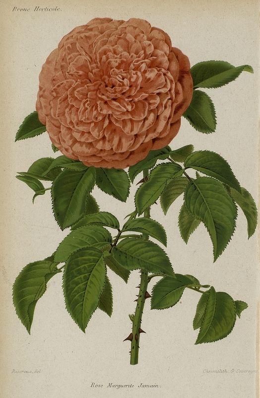 SNHF | Rose Marguerite Jamain